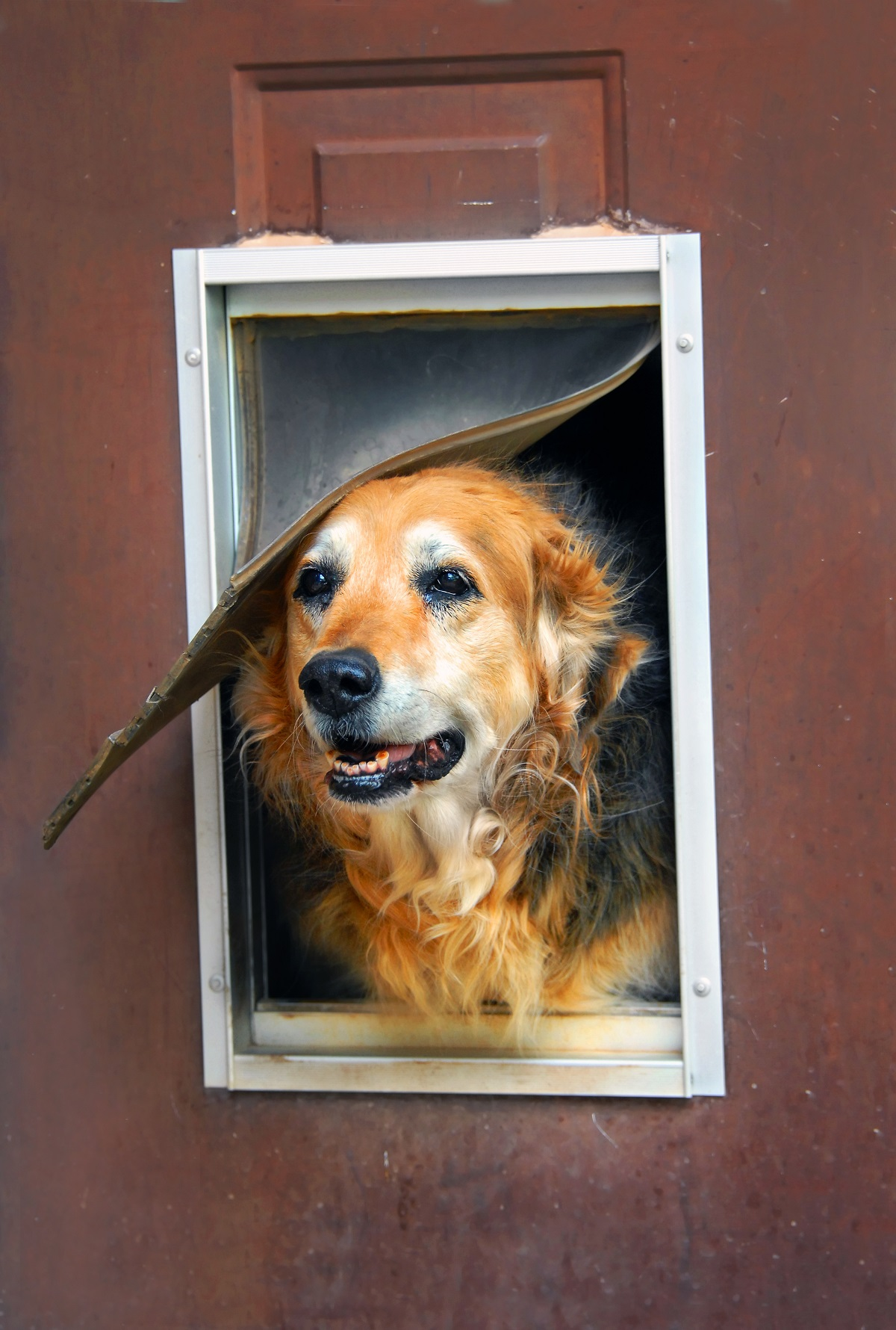Old dog looking out dog door
