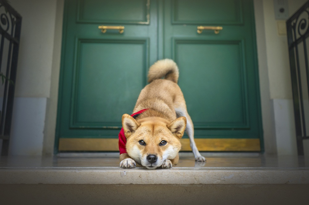 Shiba inu in front of teal and gold doors