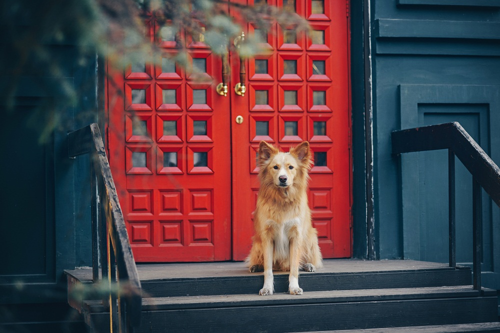 Yellow dog sitting in front of red doors